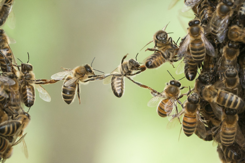 Bees bridge two parts of bee swarm.