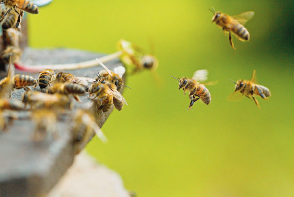can-I-buy-honey-bees