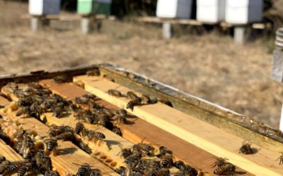 How many bees are in a nuc?