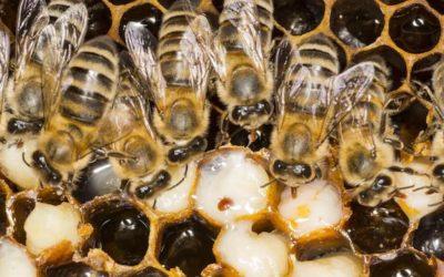 Varroa Sensitive Hygiene (VSH)