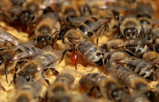 Propolis helps protect the hive