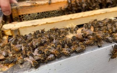 How fast does a bee colony grow?