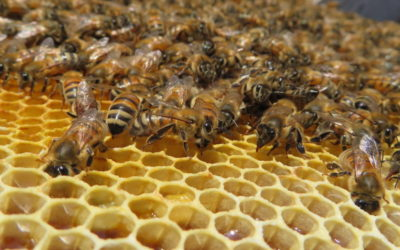 How do you transfer bees from a NUC to a hive?