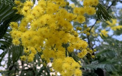 Flowering of the acacia dealbata (mimosa)