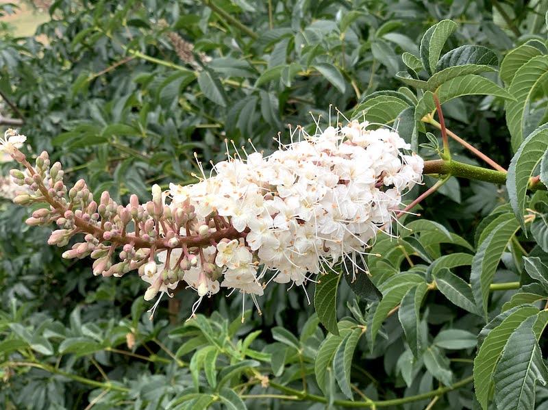 Flowering of the buckeye