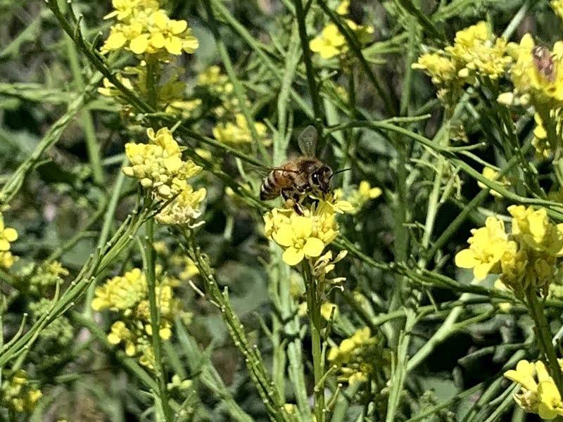 Flowering of the mediterranean mustard