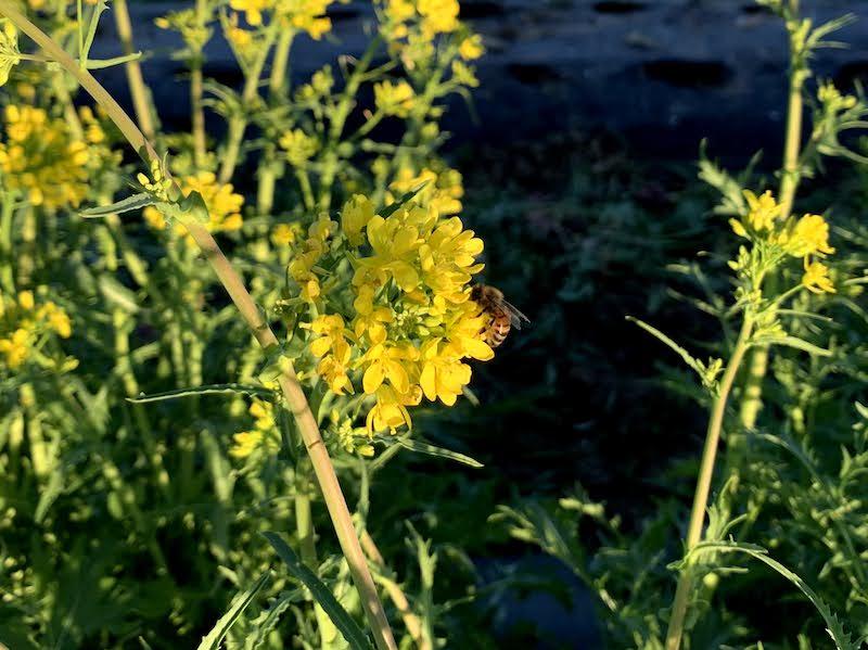 Flowering of the mustard