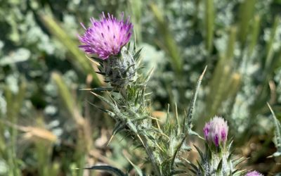 Flowering of the thistle